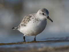 Sanderling (JS_71) Tags: nature wildlife nikon photography outdoor 500mm bird new spring see natur pose moment outside animal flickr colour poland sunshine beak feather nikkor d500 wildbirds planet global national wing eye watcher