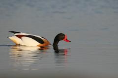 shelduck (simonrowlands) Tags: shelduck duck wildfowl shallow water lakes coasts large ponds tadorna