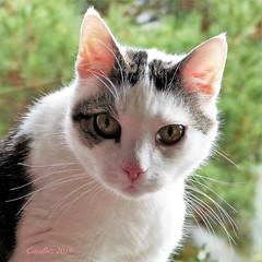 Jasmijn (Cajaflez) Tags: pet huisdier kat katze chat cat gatto portrait portret jasmijn