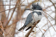Belted kingfisher (Megaceryle alcyon) male (rangerbatt) Tags: sigma150600mmsports d7500 wildutah utahwildlife jordanriver saltlakevalley bird kingfisher megacerylealcyon beltedkingfisher
