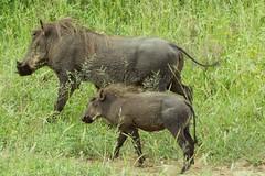 IMG_7380 (Rorals) Tags: warthog safari africa southafrica kruger wildlife animal mammal nature pig