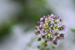 Alyssum in Winter (pstenzel71) Tags: blumen natur pflanzen winter alyssum steinkraut darktable flower bokeh snow schnee