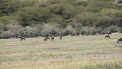 Wildebeest, Video (Everyday Glory!!!) Tags: ngorongorocrater ngorongoro africa tanzania wildlife gamedrive safari lakemagadi lion bigcat felidae simba lioness lionpride pride