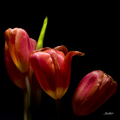 i Tulip (msuner48) Tags: d750 acr5 cs4 tulip stem flowers nikcollection topazlabs nikonafs24120mmf4ged