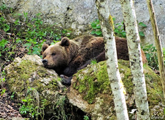 La sieste du Grizzli (Jean-Daniel David) Tags: nature vert verdure rocher arbre ours grizzli parc juraparc mousse sieste sommeil repos montdorzeires suisse suisseromande vaud vallorbe