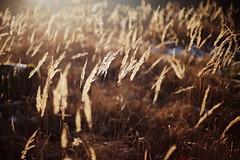 Bokeh bei 1.4 (geraldtourniaire) Tags: canon schärfentiefe bokeh gräser goldene nature natur eos6d ef ef1450usm gegenlicht germany licht l