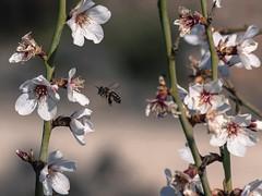 En el tajo (*Nenuco) Tags: bee almond white blanco flor almendro abeja 18105 nikkor d5300 nikon españa valencia arasdelosolmos jesúsmr