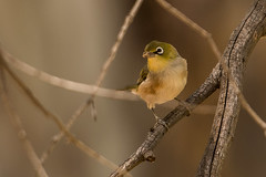 _D509086 (crispiks) Tags: wonga wetlands albury new south wales nikon d500 70200 f28 birdlife