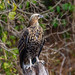 Madagascar Fish-Eagle (Haliaeetus vociferoides), juvenile