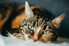 Sleepy Cat (Joeydarkroom) Tags: chat cat animal intérieur portrait