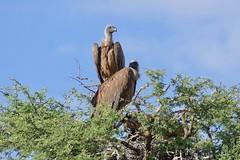 White-backed Vultures (Gyps africanus) (berniedup) Tags: deertiendeboorgat auob kgalagadi whitebackedvulture gypsafricanus vulture taxonomy:binomial=gypsafricanus