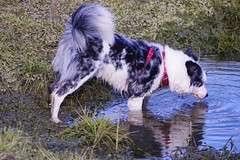 reflection (Sundornvic) Tags: puppy puddles water pool play sunshine collie welsh triblue merle