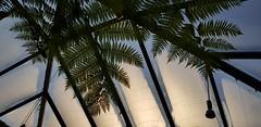 Palmenblätter im Gegenlicht (1elf12) Tags: botanika bremen palme farn fern palmtree leaves leaf foliage blätter germany deutschland