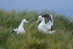 Wandering Albatrosses (Tim Melling) Tags: diomedea exulans wandering snowy albatross display courtship south georgia antarctica timmelling
