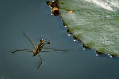 W. Strider - 072718 (r.rybicki) Tags: bug china dragonfly dxo orthetrumsabina soberskimmer southchinabotanicalgarden