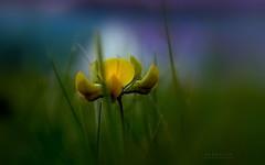 Mezei csendélet (Van'elise) Tags: vadvirág sárga csendélet