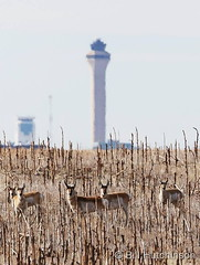 March 10, 2019 - Pronghorn near DIA. (Bill Hutchinson)