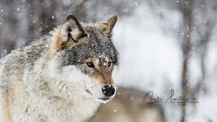 Winter Wolf (CecilieSonstebyPhotography) Tags: bokeh portrait winter closeup fallingsnow outdoor canon wolf snow norway markiii march langedrag canon5dmarkiii spring snowflakes animal wolves scandinaviangraywolf specanimal specanimalphotooftheday