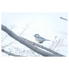 シジュウカラ (HAL_SYLPH) Tags: bird animal nature wildlife xh1 xf100400mm fujifilm pronegastd