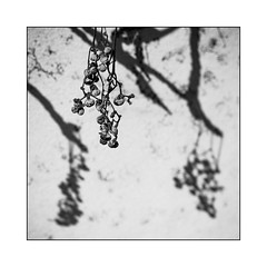 The best Grapes ripen the longest. (Thomas Listl) Tags: thomaslistl blackandwhite biancoenegro noiretblanc 50mm square flora grapes plant light shadows wall contrasts lightandshadow branches nature grey monochrome sunlight