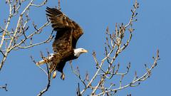 Bald Eagle (Gary R Rogers) Tags: bluesky birds fernhill baldeagle tree flight bird