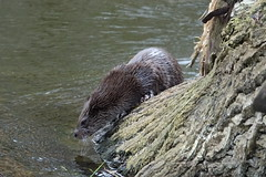 Otter (hedgehoggarden1) Tags: otter mammal animal nature wildlife sonycybershot norfolk eastanglia uk sony river