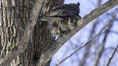 Grand Duc d'Amérique / Great Horned Owl (richard.hebert68) Tags: nikon d850 300mmf4pf domainemaizerets hiver arbre forêts grandduc québec canada