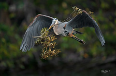 Great Blue with Great Branch (MyKeyC) Tags: blue heron branch nesting material wakodahatchee wetlands greatblue