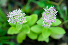 Crassula (Sal Tinoco) Tags: backyard beautiful bloom blooming blossom crassulamulticava fairycrassula flora flower flowers garden green home nature outside petal plant
