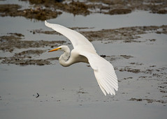 Great Egret 1 (EHPett) Tags: rockyneckstatepark niantic connecticut connecticutbirds connecticutwildlife greategret casmerodiusalbus marsh flying water nature