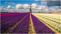 Broekmolen spring special:P (Rob Schop) Tags: pscc lrcc fake twoimages windmill flowers hyacint color clouds broekmolen sonya6000 wideangle fun leadinglines samyang12mmf20 hardlight