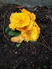 Primrose (Anna Gelashvili) Tags: цветы flowers garden ყვავილი ყვავილები ფოთლები ყვითელი желтыйцветок цветочки сад plant soil почва растение leaf macro bright лист макрос яркий yellow flower primrose примула