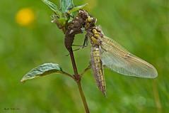 Teneral (ajmtster) Tags: macrofotografía macro insecto invertebrados libélula libelulas odonatos libellulaquadrimaculata libellula quadrimaculata dragonfly dragonflies amt anisopteros