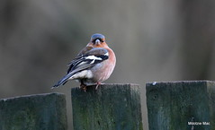 Chaffinch returns (mootzie) Tags: bird fence wildlife nature chaffinch colourful growth claw aberdeenshire scotland