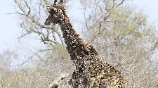 南非一長頸鹿因被鳥啄脖子長滿疣狀凸起物