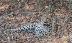 'My Girl' - Chiphadzuwa (Tris Enticknap) Tags: africa zambia cat southluangwa africanleopard leopard pantherapardus pantheraparduspardus chiphadzuwa