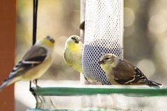 BackyardBirds_1-21-19-60 (RobBixbyPhotography) Tags: florida goldfinch jacksonville backyard birds