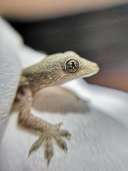 Baby visitor (tomquah (busy period)) Tags: lizard macro
