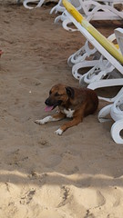 2015-09-20_16-19-28_ILCE-6000_DSC00169 (Miguel Discart (Photos Vrac)) Tags: 100mm 2015 animal animalphotography animals animalsupclose animaux beach chien colakli dog dogs e1670mmf4zaoss focallength100mm focallengthin35mmformat100mm holiday hotel ilce6000 iso100 kamelya kamelyaworld landscape meteo nature naturephotography pet plage sony sonyilce6000 sonyilce6000e1670mmf4zaoss summer turkey turquie vacance vacation weather