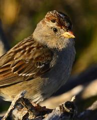 White-crowned Sparrow - juvenile (aviac) Tags: morrobay morrobaystatepark stateparkmarina california californiabirds bird birdscalifornia sanluisobispocounty sanluisobispobirds sparrow whitecrownedsparrow