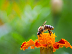 Honey bee collecting nectar (Ivan Radic) Tags: blume closeupshot honeybee honigbiene makro nahaufnahme nektar collecting flower macro nectar sammeln olympusomdem10 olympus microfourthirds mft m43