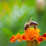 Honey bee collecting nectar thumbnail