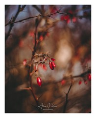 DSC_0175-1-3 (PhotoByNelson) Tags: nikon niagara ontario canada nature welland beautiful creative lightroom photoshop photography photo seasons winter d5600 bokeh