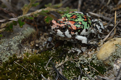 Rainbow frog (Scaphiophryne gottlebei) (cclborneo) Tags: amphibia anura madagascar microhylidae amphibian animal camouflage crypsis cryptic fauna frog narrowmouthedfrog wildlife