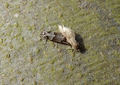 Moths! (rockwolf) Tags: moth lepidoptera insect beech mating pair abbeywood shropshire rockwolf tortricodesalternella wintershade