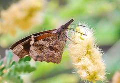 American Snout (Laurie Paulik) Tags: americansnouts anzatrail arizona butterflies snouts