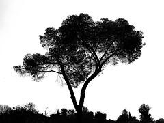 Gulliver (zeevveez) Tags: זאבברקן zeevveez zeevbarkan canon bw tree
