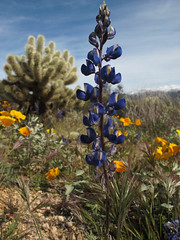Springishness (zoniedude1) Tags: arizona desert springinthedesert wildflowers desertbloom2019 springishness blueandyellow springbeauties lupinesandpoppies sonorandesert greendesert thespringbloom lupine coulterslupine lupinussparsiflorus fabaceae peafamily annual indigo blue purpleishblueish blooming flower native gold poppies mexicangoldpoppy eschscholziacalifornicasspmexicana flowering orange beauty annuals teddybearcholla cylindropuntiabigelovii cactaceae pronouncedchoyuh sharp prickly desertscape brilliant colorful flowers desertinbloom maricopacounty tontonationalforest bartlettlakerecreationarea desertspring2019 2280ftelevation inthewild outdoors hiking exploration discovery southwest closeup detail macro nature canonpowershotg12 pspx19 zoniedude1 earthnaturelife