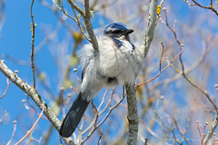 Western Scrub Jay (Reed Skyllingstad) Tags: animal aphelocomacalifornica avian bird bluejay californiascrubjay color eugene fluffsterii oregon outdoors outside sunny tree unitedstatesofamerica westernscrubjay trees
