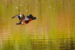 Chestnut Teal (M) (Rodger1943) Tags: waterbirds ducks teals chestnutteal australianbirds sonyrx10m4 birdsinflight faunainmotion